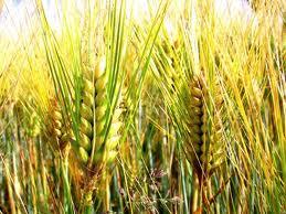 la tribù dei chicchi di mais